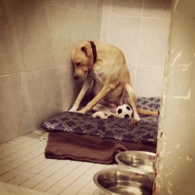 Cadela-fica-'decepcionada'-após-ser-devolvida (1)