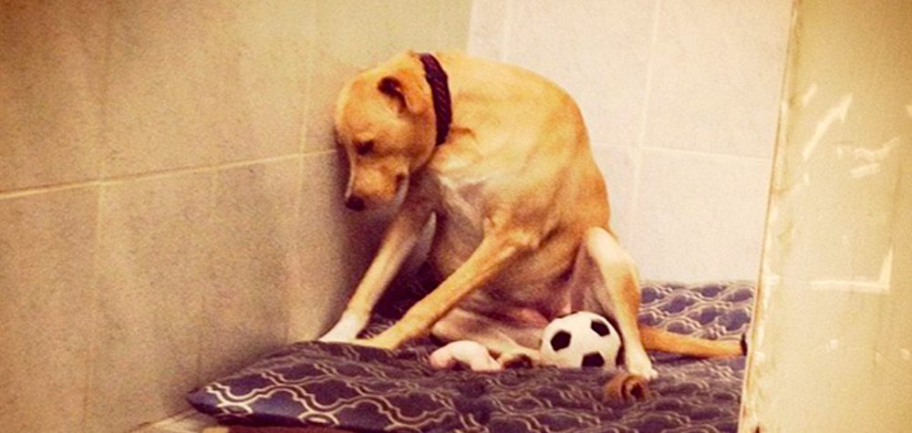 Cadela fica 'decepcionada' após ser devolvida ao abrigo pela família que a adotou
