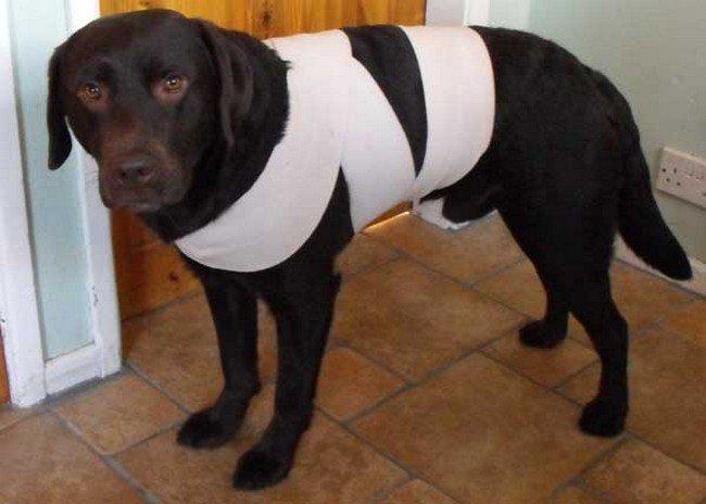 Como-proteger-o-cachorro-do-barulho-dos-fogos-truque-do-pano (2)