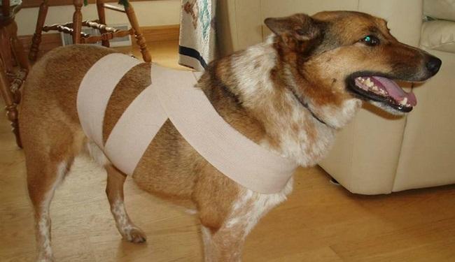 Como proteger o cachorro do barulho dos fogos com o truque do pano