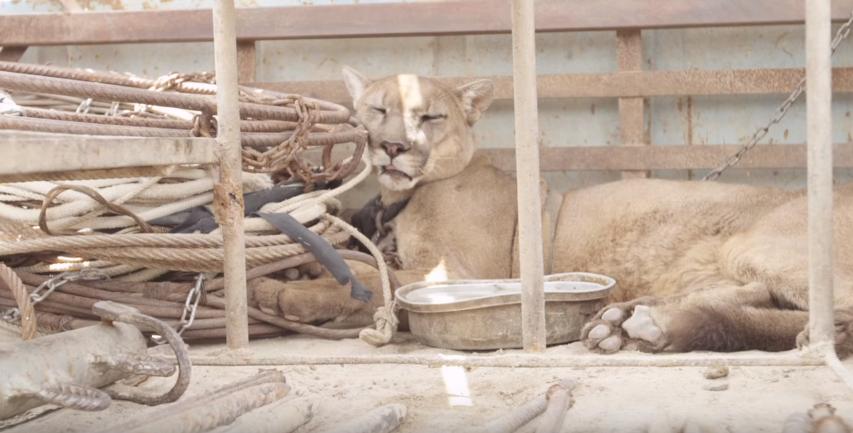 Leão da montanha que foi acorrentado por 20 anos finalmente experimenta a liberdade