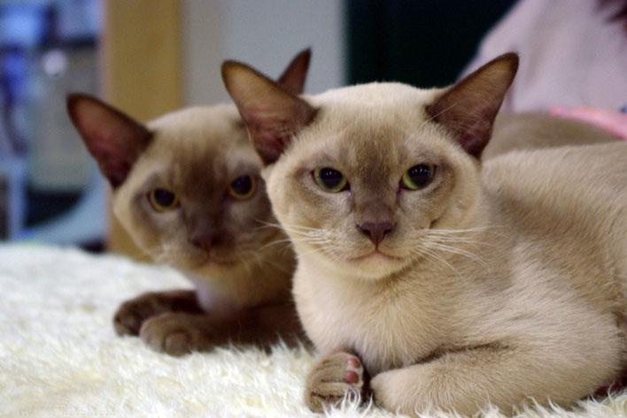 Burmese-Burmês-raças-de-gatos-para-apartamento (1)