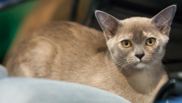 Burmese-Burmês-raças-de-gatos-para-apartamento (2)