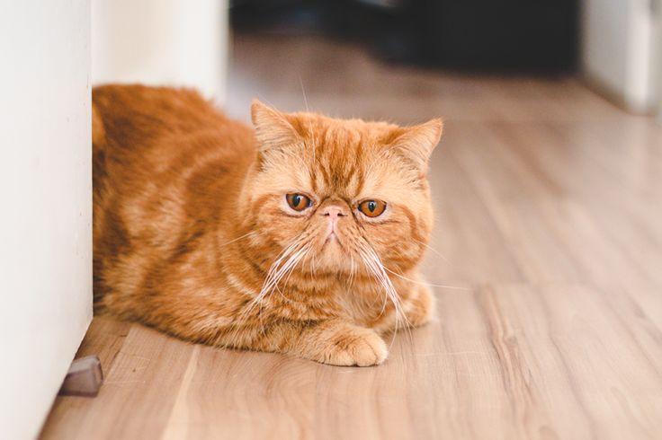 Exótico-de-Pelo-Curto-Exotic-Shorthair-raças-de-gatos-para-apartamento (1)