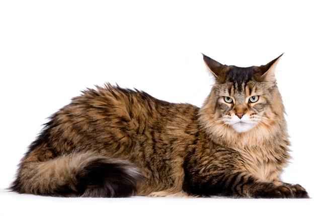 Maine-Coon-raças-de-gatos-para-apartamento