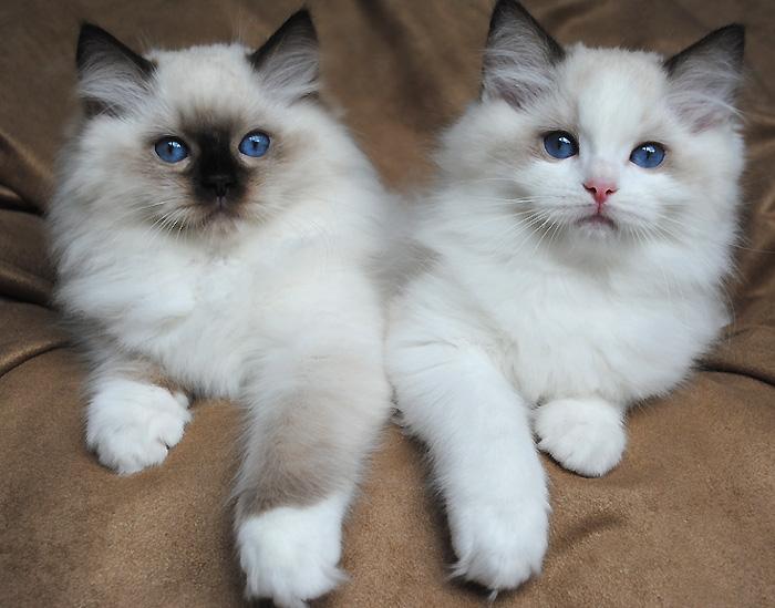 Ragdoll-raças-de-gatos-para-apartamento (1)