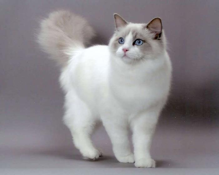 Ragdoll-raças-de-gatos-para-apartamento (2)