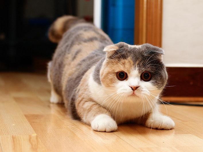 Scottish-Fold-raças-de-gatos-para-apartamento (1)