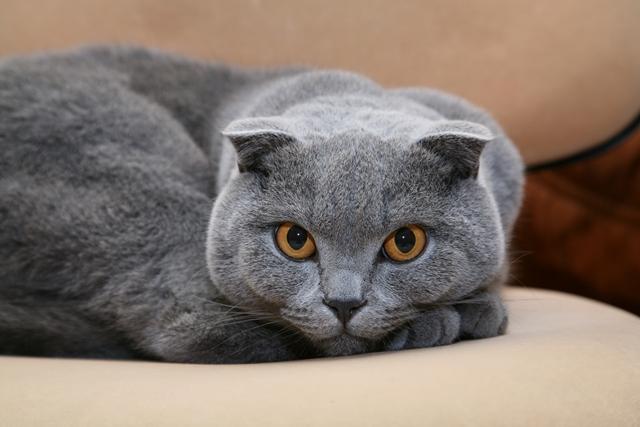 5 raças de gatos para apartamento