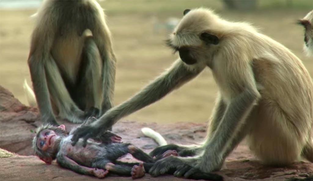 """A emocionante reação dos macacos ao pensarem que macaquinho robótico """"Morreu"""""""