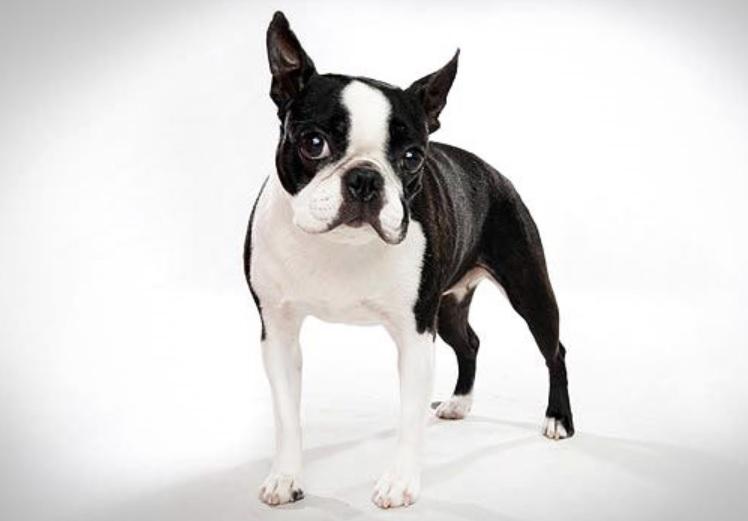boston-terrier-menores-racas-de-caes-do-mundo