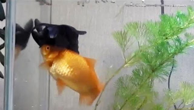 Peixinho de aquário ajuda amigo doente a comer e a sobreviver