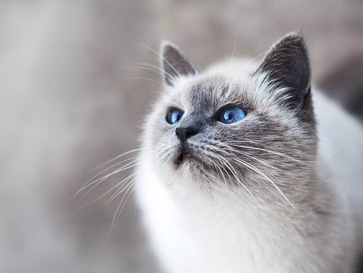 Cats have a reflective layer in their eyes