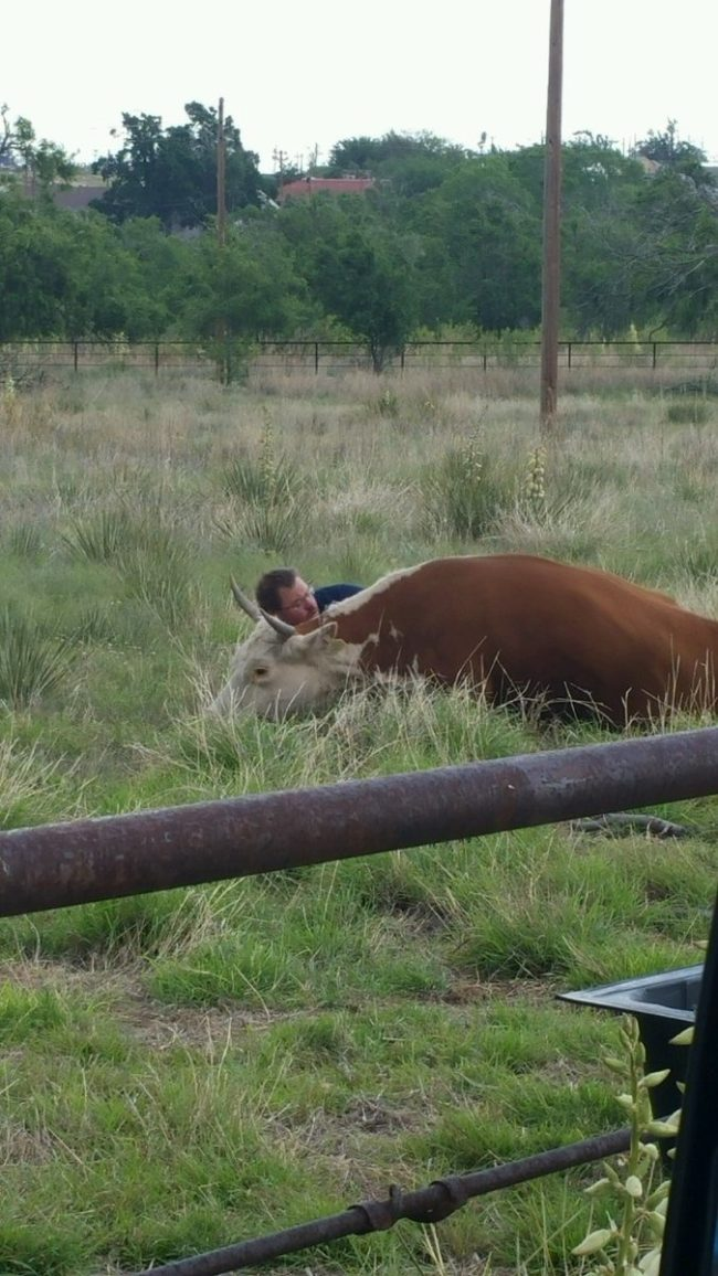 A razão pela qual este homem está deitado ao lado de uma vaca trará lágrimas aos seus olhos