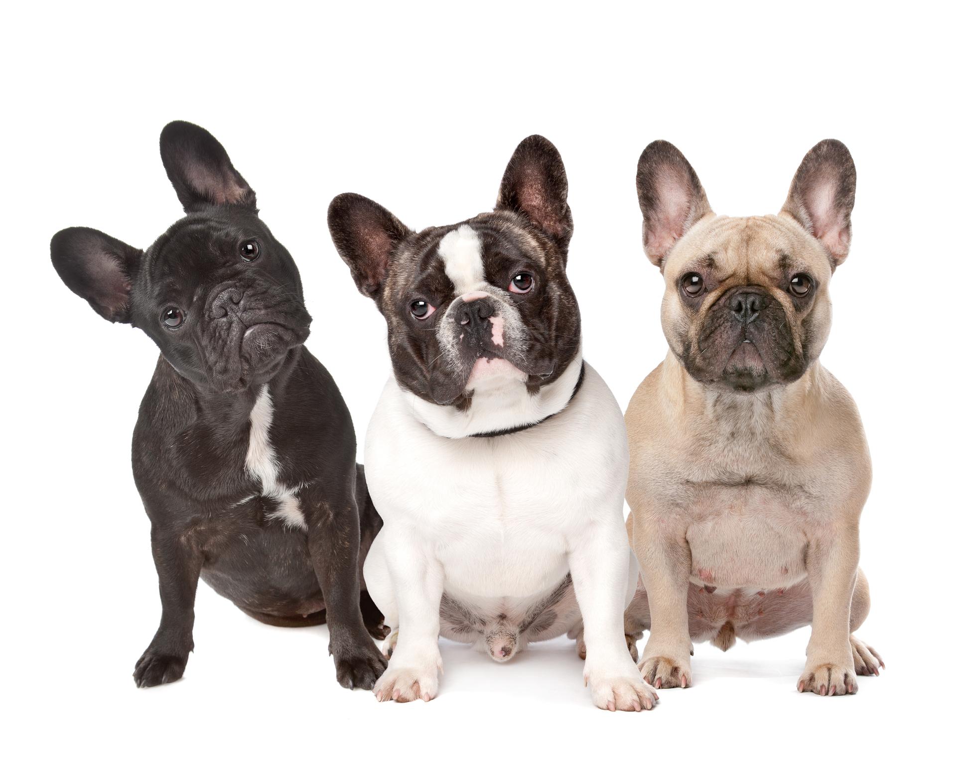 Buldogue Francês | Tudo sobre a raça Bulldog Francês
