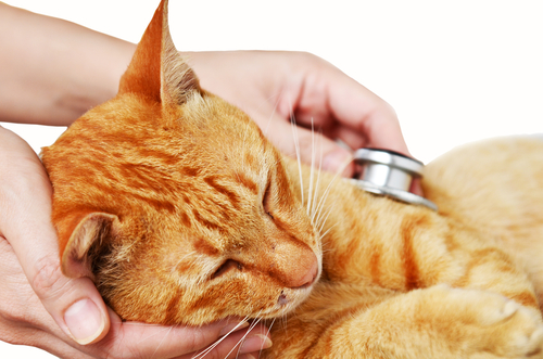 Como saber se um gato está sentindo dor? Conheça 25 sinais de dor em gatos