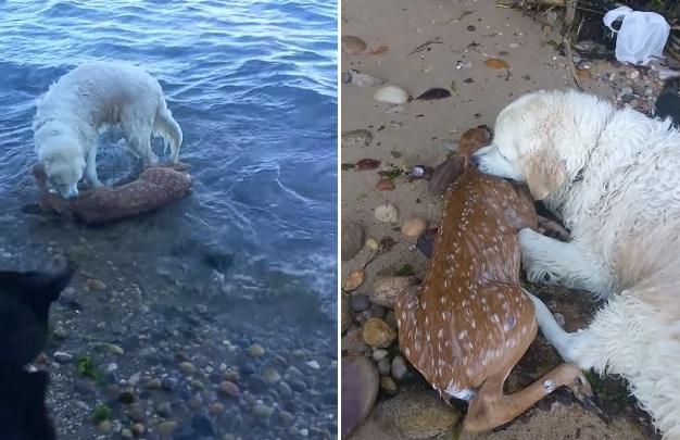 [Vídeo] Cachorro salva filhote veado de afogamento e mostra que existe solidariedade no reino animal