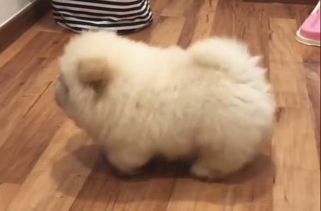 Isto é um cahorro ou uma bola de pêlos fofinhos ambulante? Você decide!